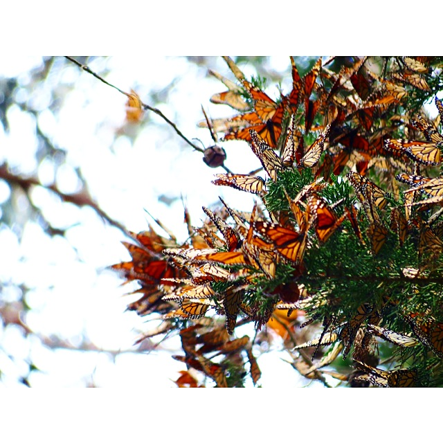 Monarch Butterflies, Butterfly Grove, Pismo Beach, CA. Photo by Lori Delisle